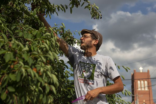 Behold the juneberry, Philly's sweetest secret, and the harvesters who pluck them from the sidewalks   Mike Newall