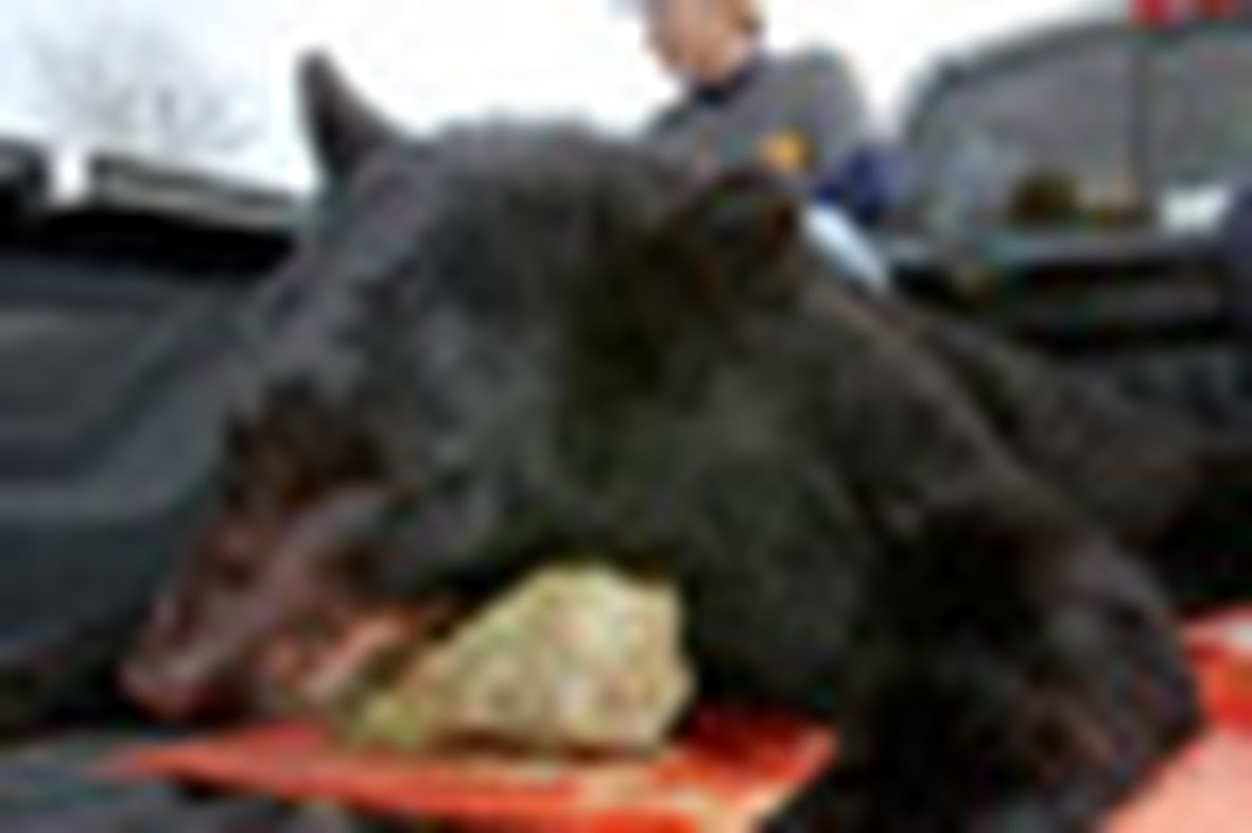 200 black bears killed in controversial hunt