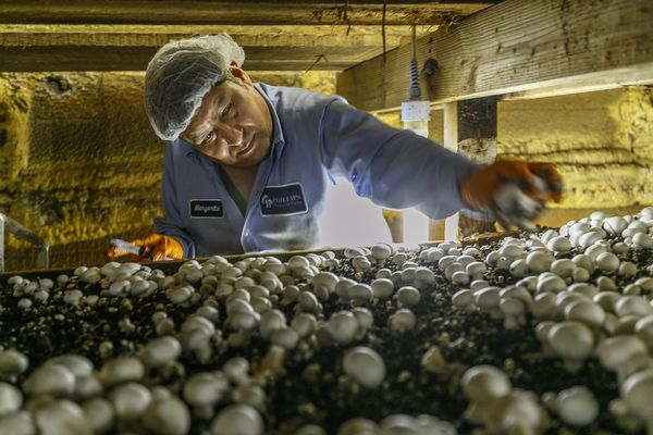 Kennett Square mushroom grower's $115 million expansion is a big bet for New York investor