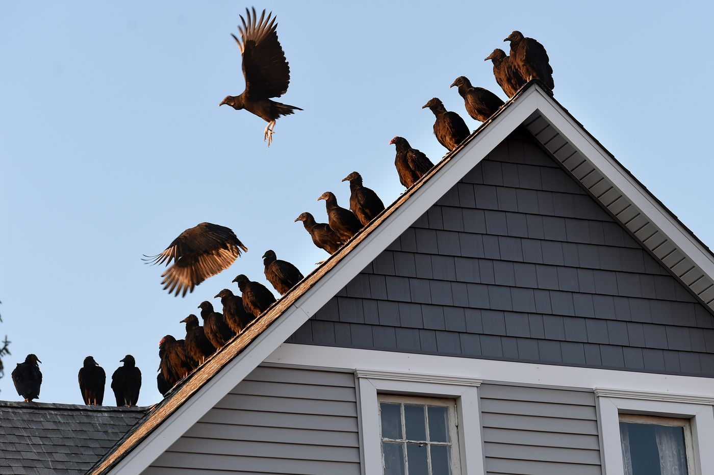 Hundreds of vultures flood a N.J. town. Some want them to buzz off, but others want to celebrate the ugly bird.