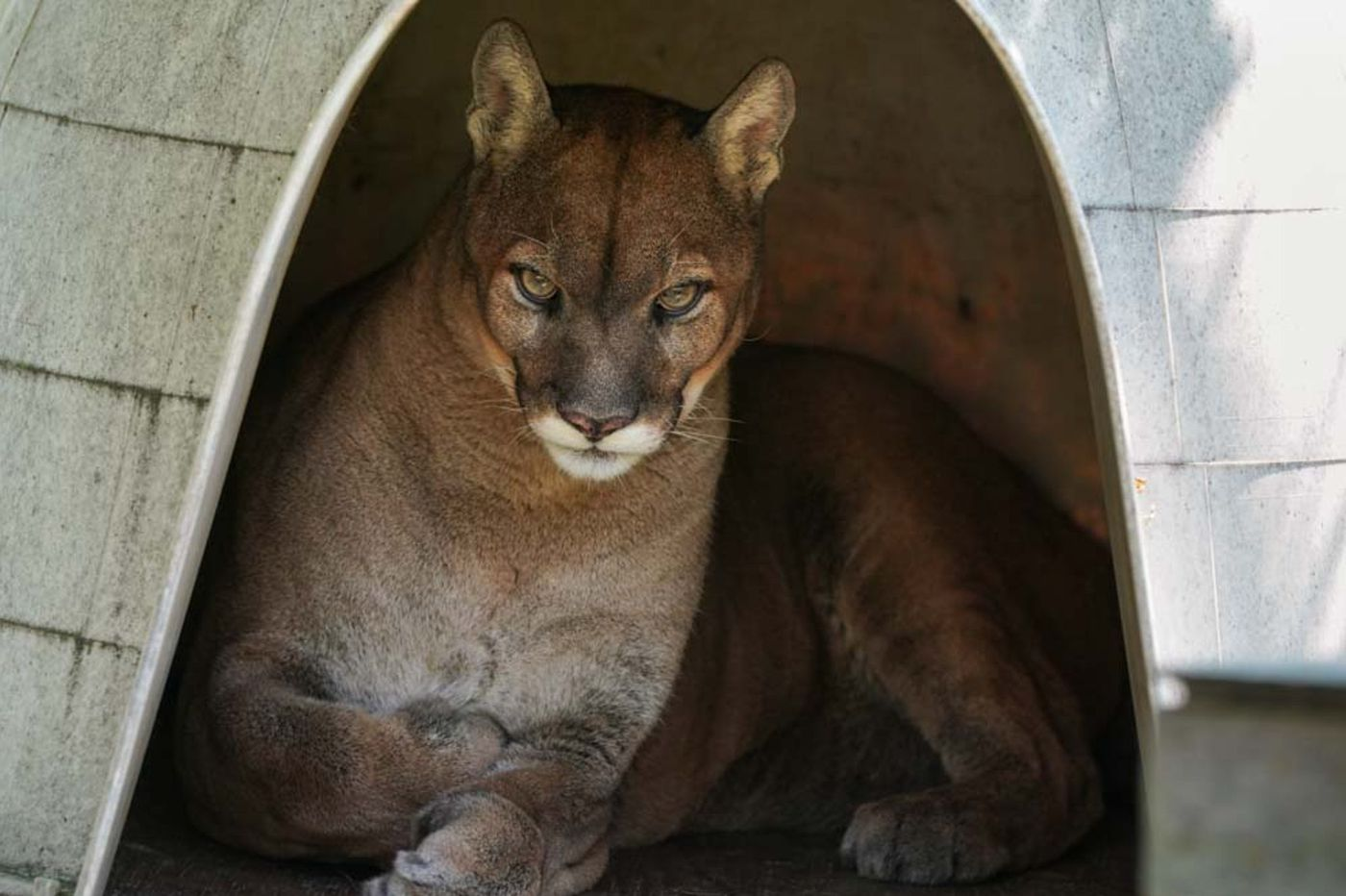 Spotting Mountain Lions Is Becoming A Pennsylvania Pastime