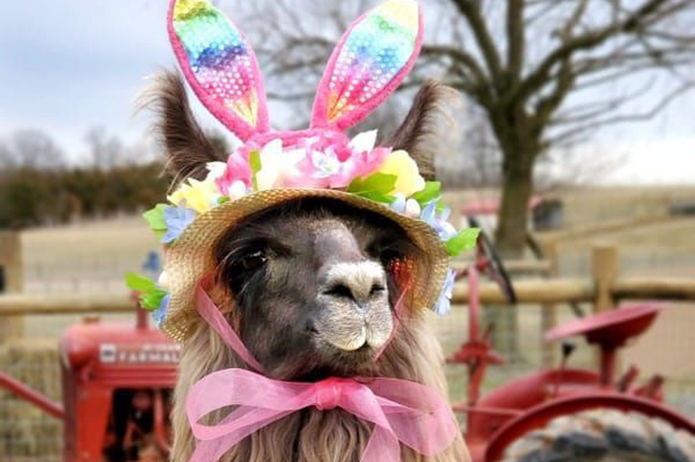 Conswala — Pennsylvania's 'no-drama llama' — is a contender to be the next Cadbury Bunny