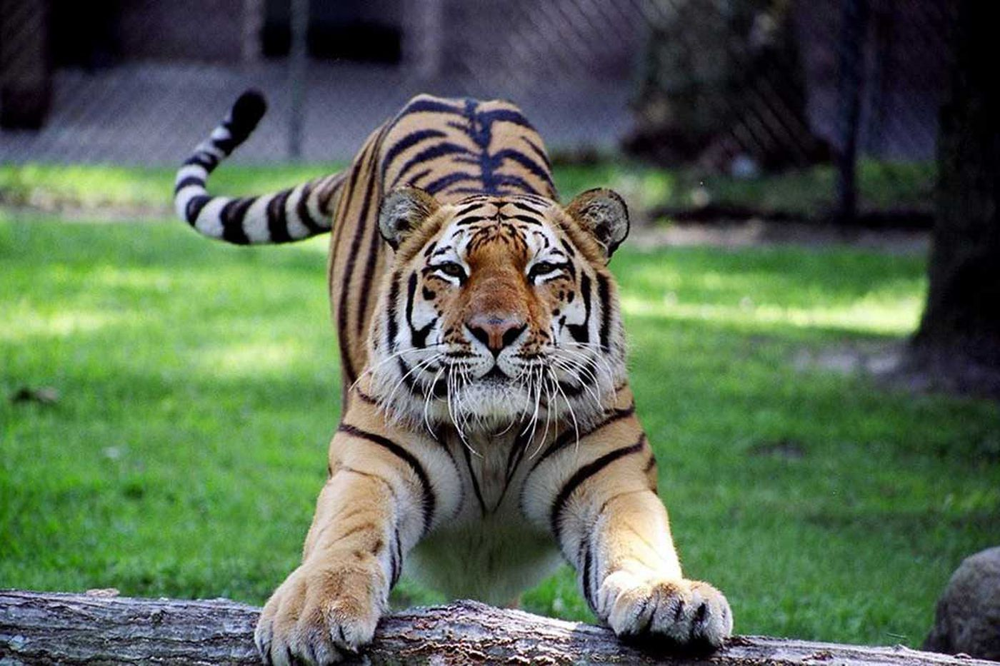 Shore zoo's tiger is euthanized