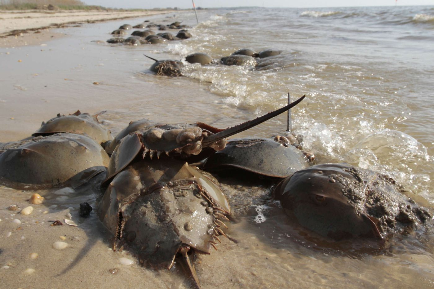 Horseshoe crabs are bled by the thousands for medical tests every year. Some fear an escalation due to COVID-19.