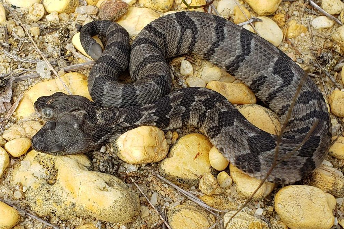 Two-headed timber rattlesnake found in New Jersey pine barrens
