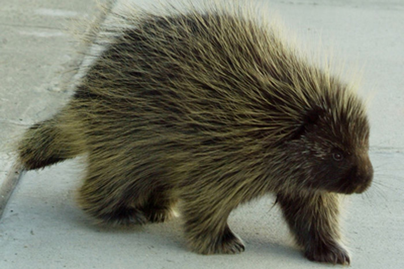 Pa  Game Commission considers open season on porcupines