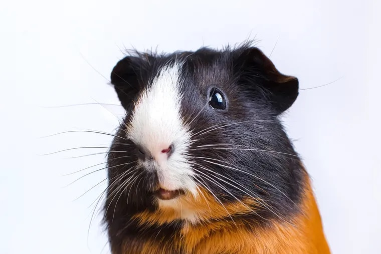 In remote Peruvian villages, traditional healers use guinea pigs to diagnose and treat pneumonia.