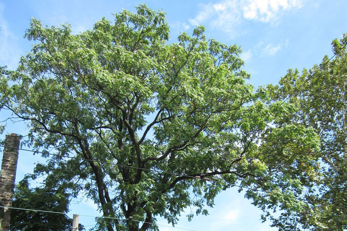 Why the tree of heaven spreads so devilishly and harms Pa. forests