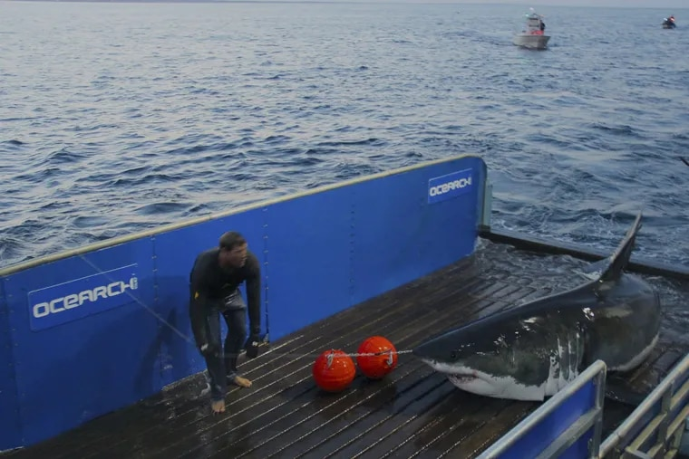 Great White shark Mary Lee.