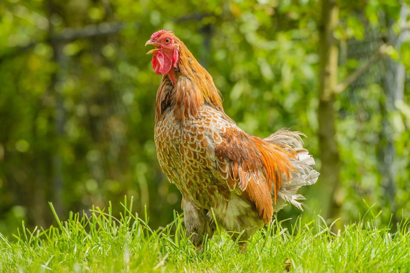 Nationwide salmonella outbreak linked to backyard chickens