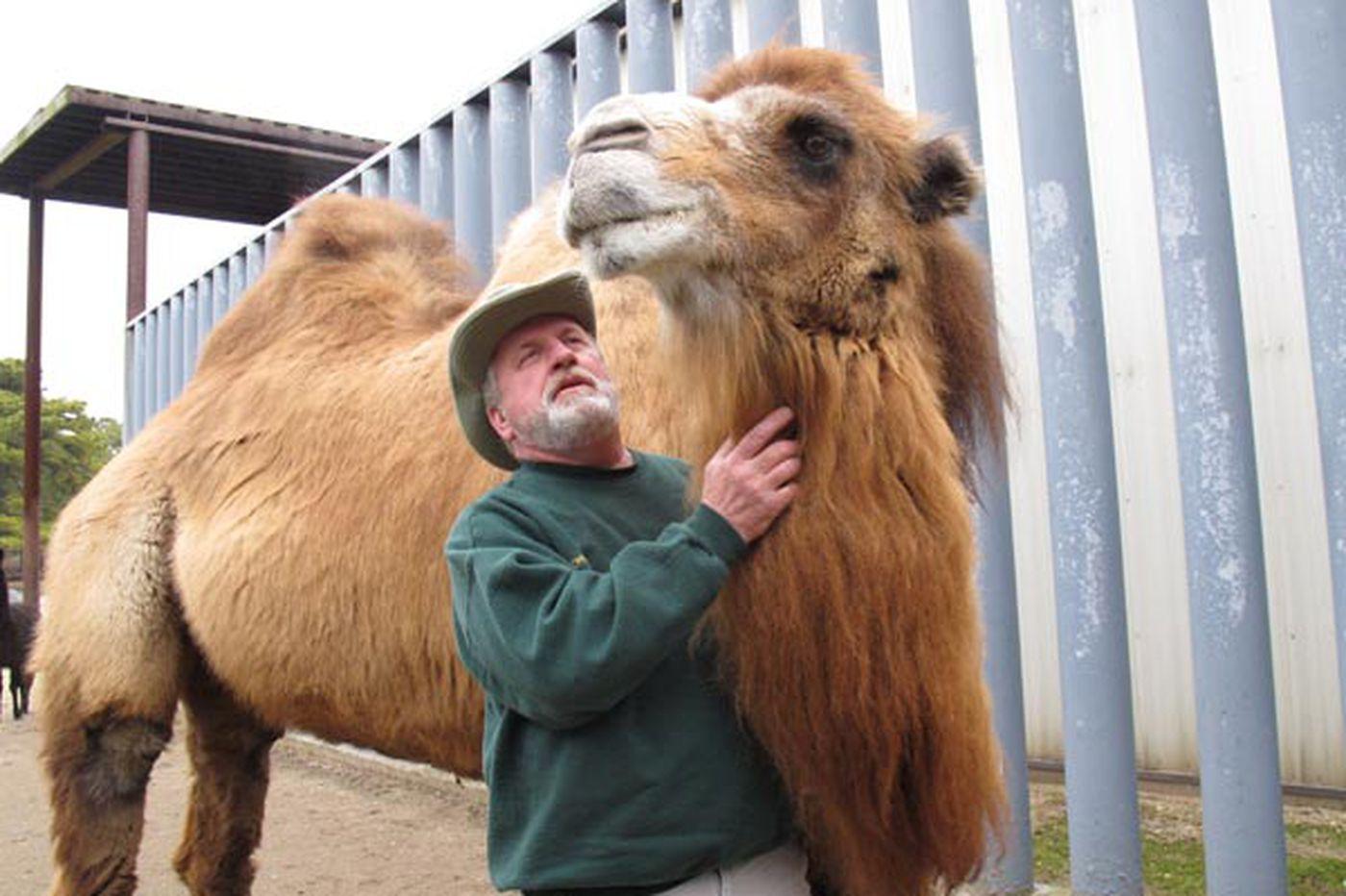Jersey zoo camel picks Ravens to win Super Bowl