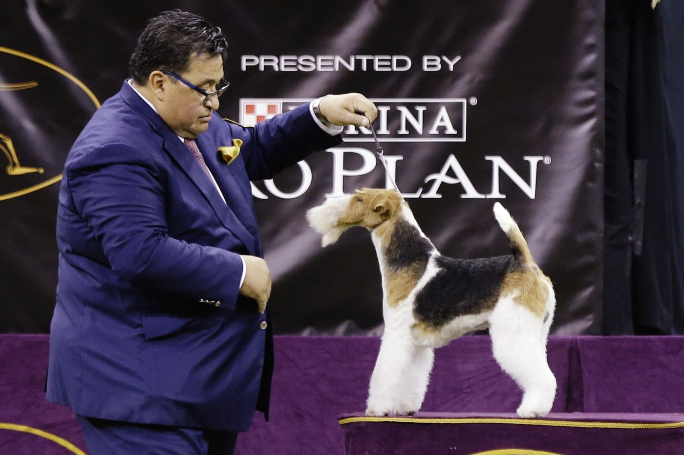 Wired to win: Wire fox terrier is Westminster best in show