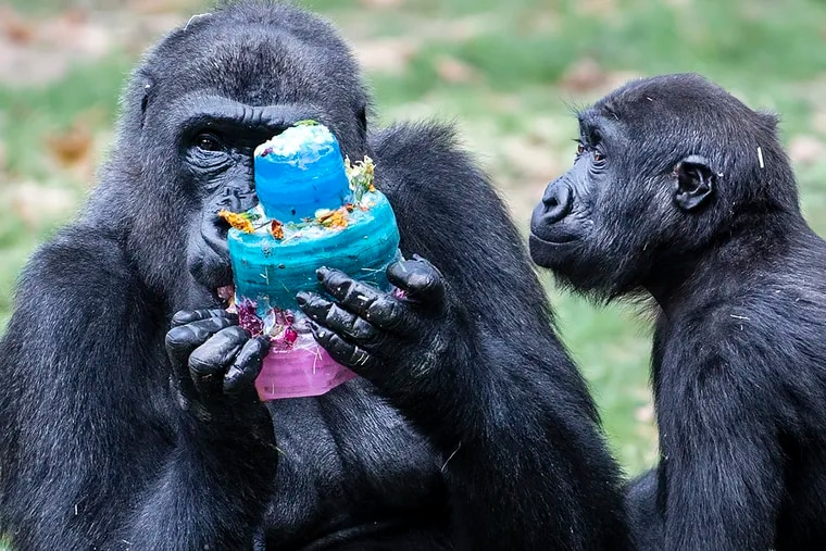 File photo of western lowland gorilla Amani (right) and her mother Honi at the Philadelphia Zoo on Sept. 4, 2019. Both gorillas this week received their first dose of a COVID-19 vaccine.